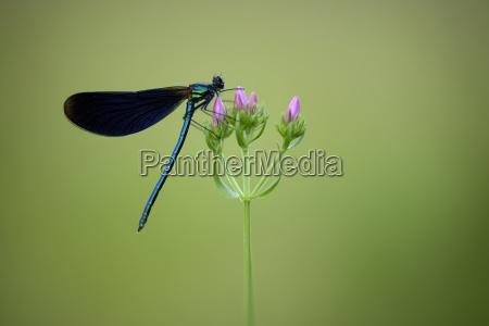 male beautiful demoiselle on blossom
