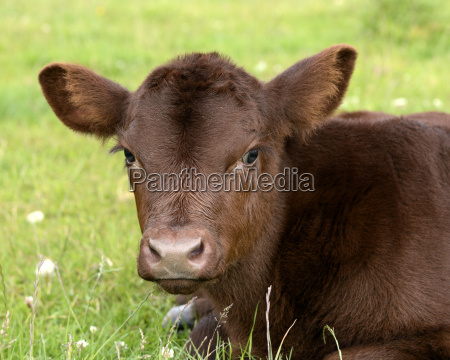 portrait of lincoln red calf on