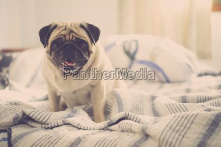 pug sitting on bed