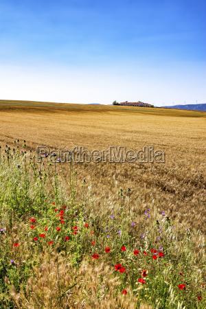 spain andalusia field of barley farmhouse