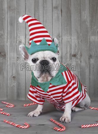 tragende weihnachtselfenkostuem der franzoesischen bulldogge
