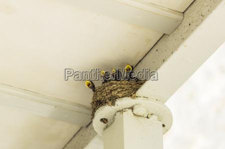 vier hungrige junge schwalben im nest