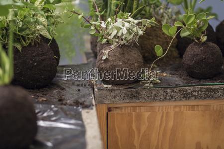 plants in balls of soil in