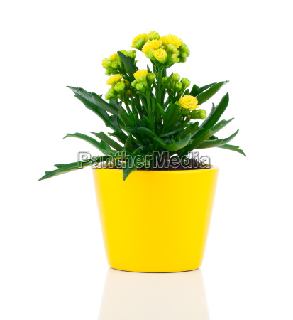 kalanchoe blossfeldiana family crassulaceae crassulaceae