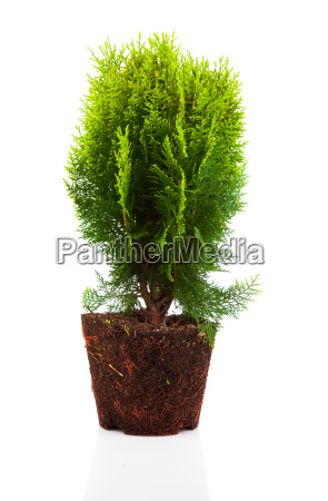 cypress thuja mit wurzeln