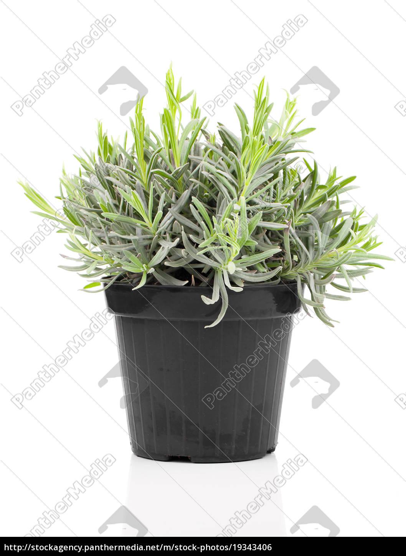 Beliebt Bevorzugt Lavendel pflanze im Topf - Stockfoto - #19343406 - Bildagentur &CV_88