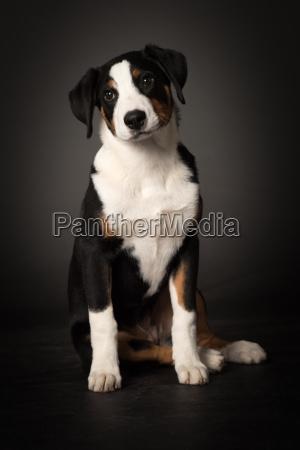 appenzeller sennenhund in front view
