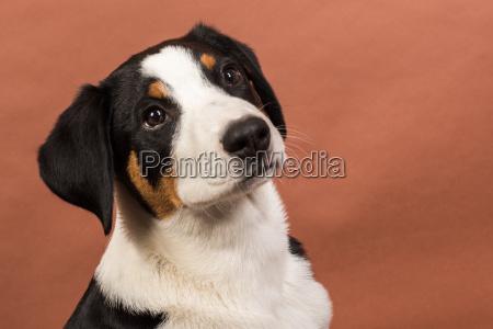 aufmerksamer appenzeller sennenhund
