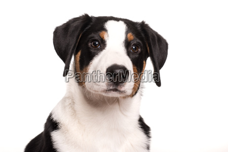 dog face of an appenzeller sennenhund