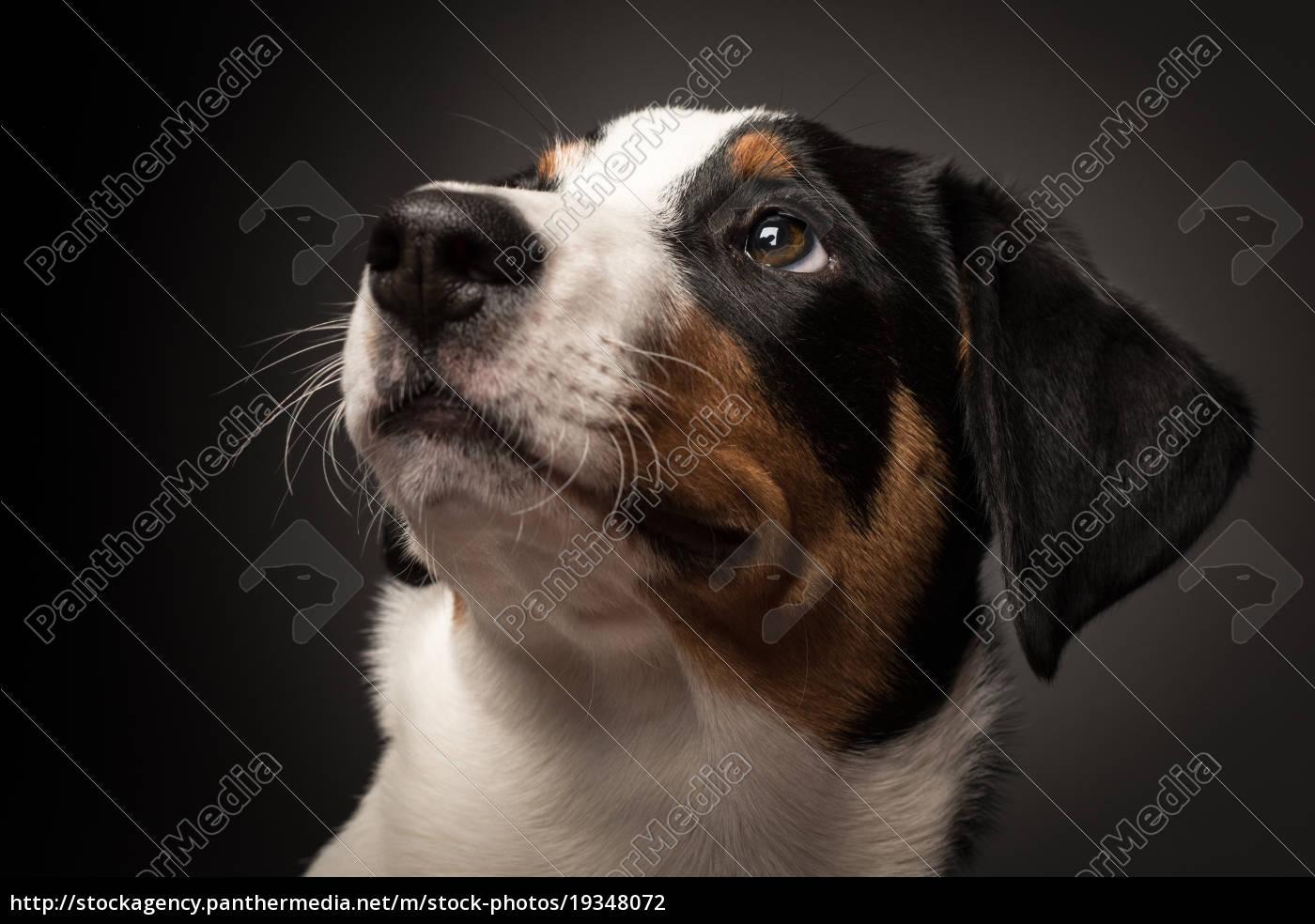 appenzeller, sennenhund, im, portrait, auf, schwarz - 19348072