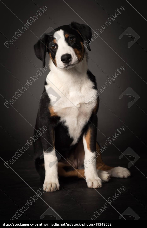 appenzeller, sennenhund, in, frontansicht, - 19348058