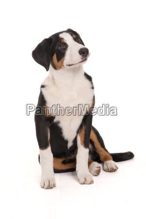 appenzeller, sennenhund, macht, sitz, - 19348054