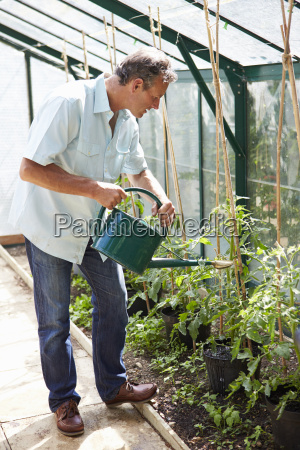 middle aged man watering tomato plants