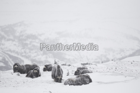 group of musk oxen sitting in