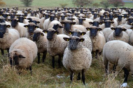 flock of sheep rhoenschafe