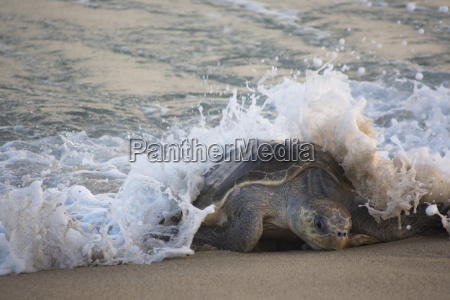 an olive ridley sea turtle gets