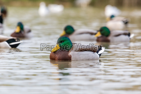 close up from a beautiful mallards