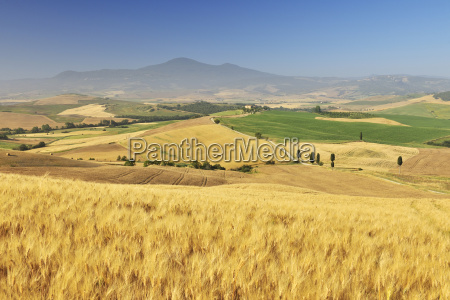 tuscan countryside with wheat field in