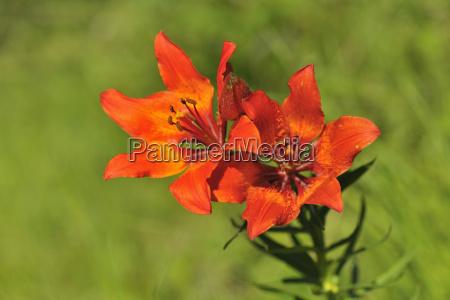 flowering fire lily arabba passo pordoi