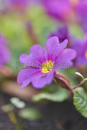 close up of pink common primula