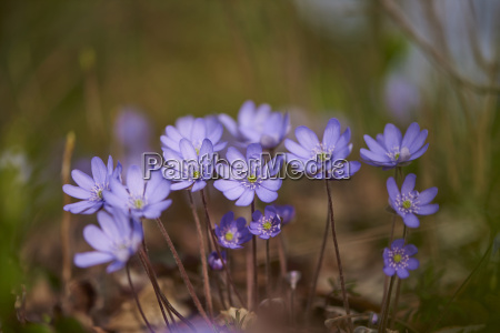 close up of common hepatica anemone