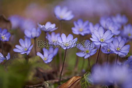 close up of common hepatica anemone
