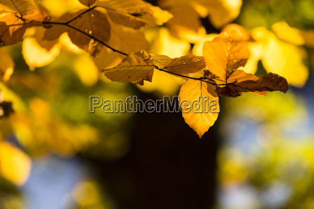 detail of golden leaves on beech