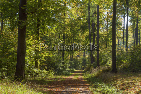 path in beech forest in early