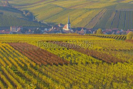 colorful vineyards in autumn escherndorf maininsel
