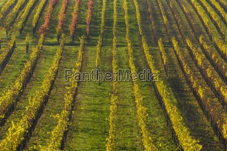 colorful vineyards in autumn volkach maininsel