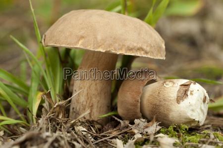 boletus edible mushroom