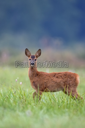 young roe deer in a clearing