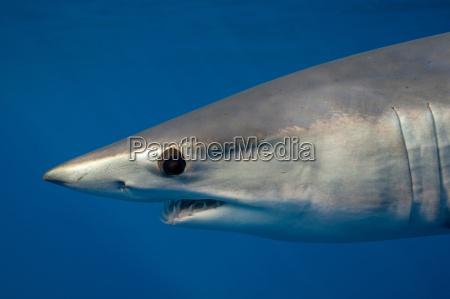 nahaufnahme von mako hai s gesicht