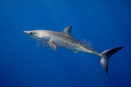 haifischschwimmen im tropischen wasser