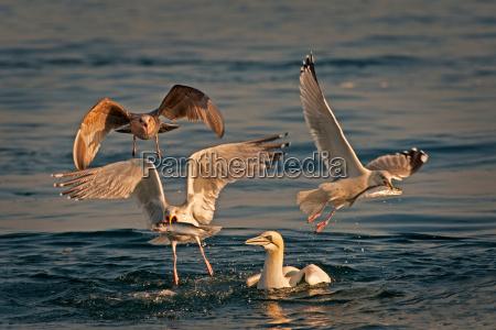 seagulls fishing in water