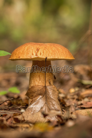 porcini fungi on the litter boletus
