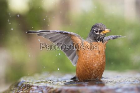 american robin turdus migratorius in