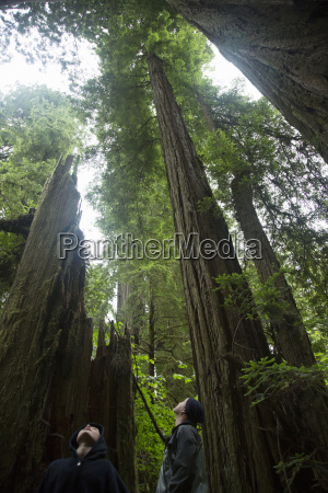 father and son looking up redwoods