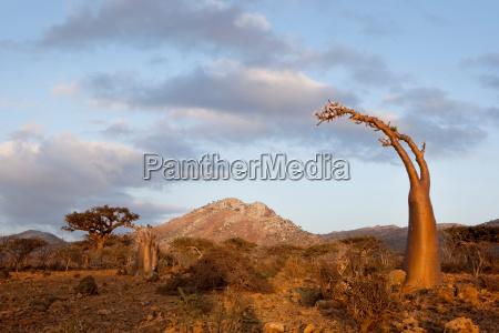 a bottle tree a type of