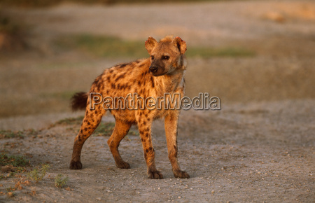 eine hyaene in der morgendaemmerung in