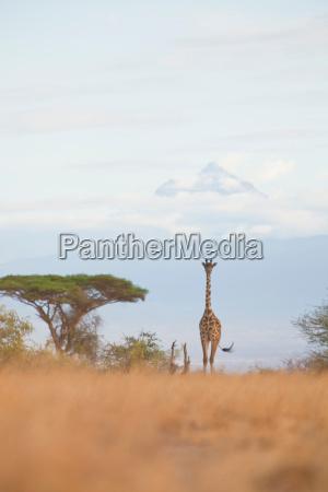 a giraffe walks amongst the acacia