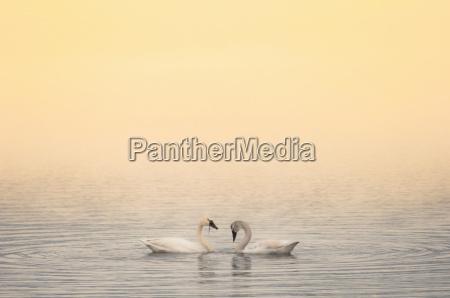 two trumpeter swans cygnus buccinator okanagan