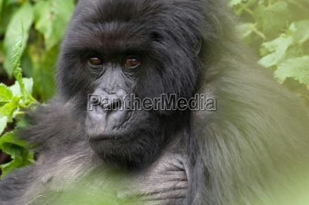 silverback gorilla in the virunga mountains