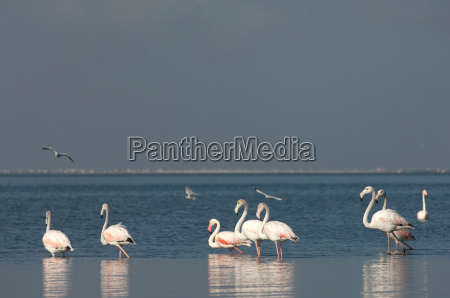 greater flamingoes in the water at