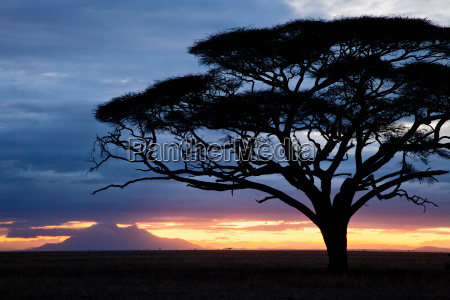 the silhouette of an acacia tree