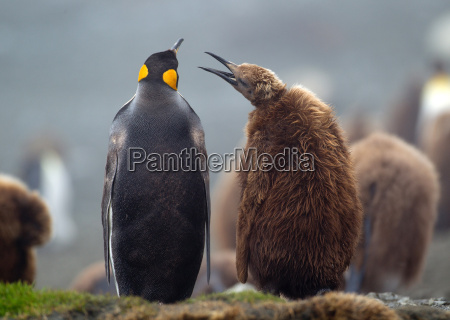 king penguin with young chick amongst