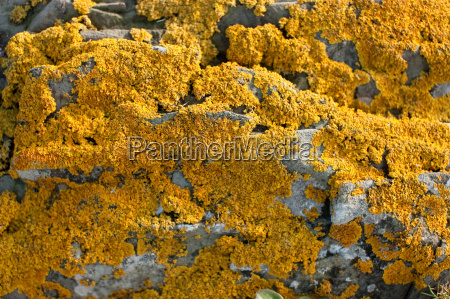 yellow lichen on stone