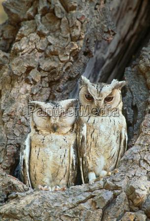 collared sops eule ranthambhore national park