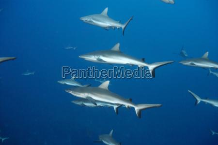 weissspitzen riffhaifischschwimmen im ozean