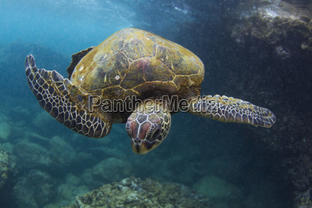 underwater view of turtle swimming in